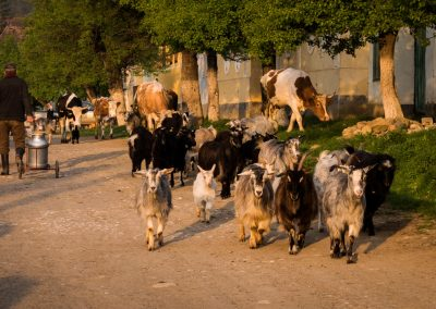 Animals on the streets of Viscri village
