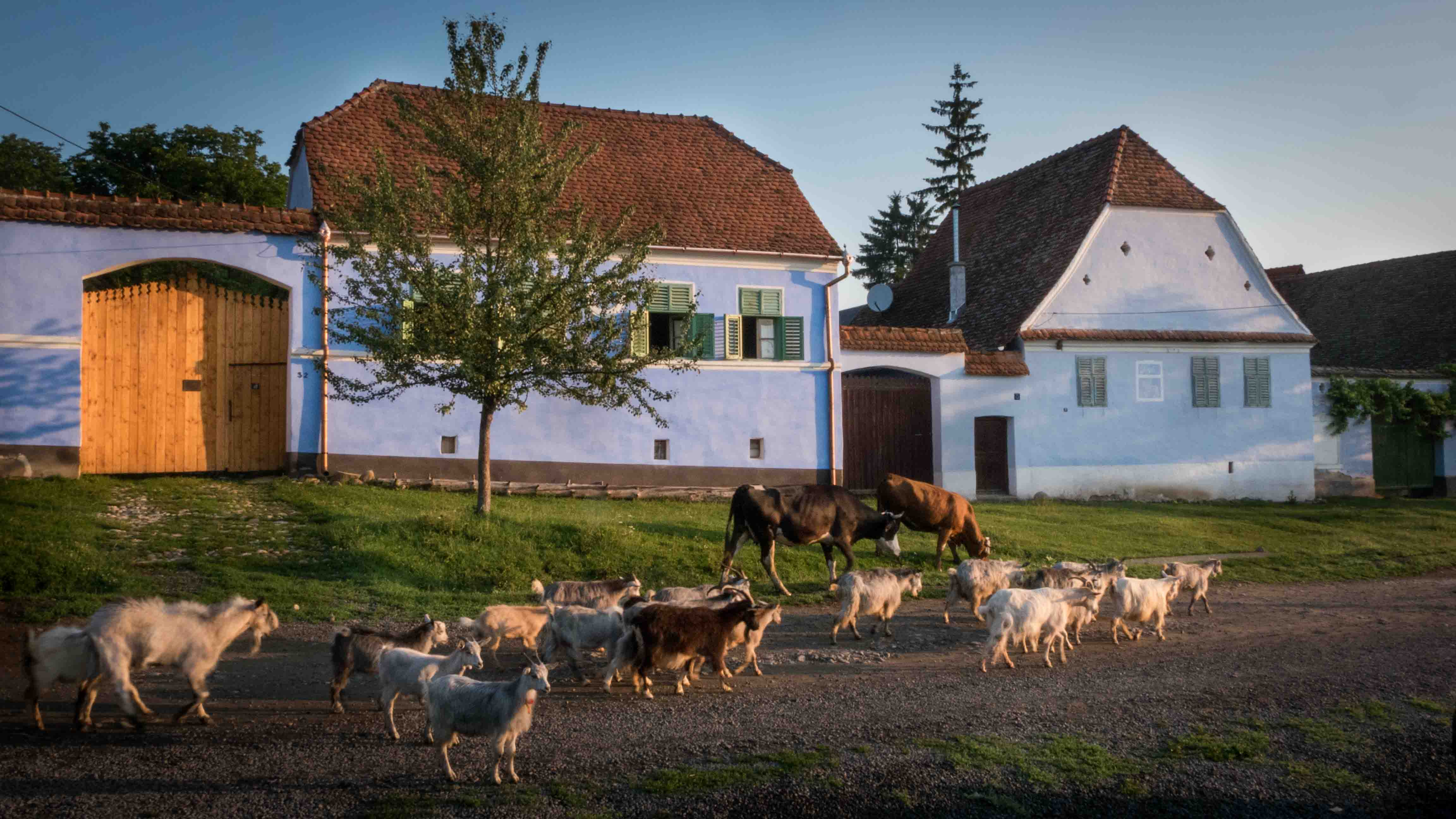Spring morning in Viscri village - animals going to the pasture