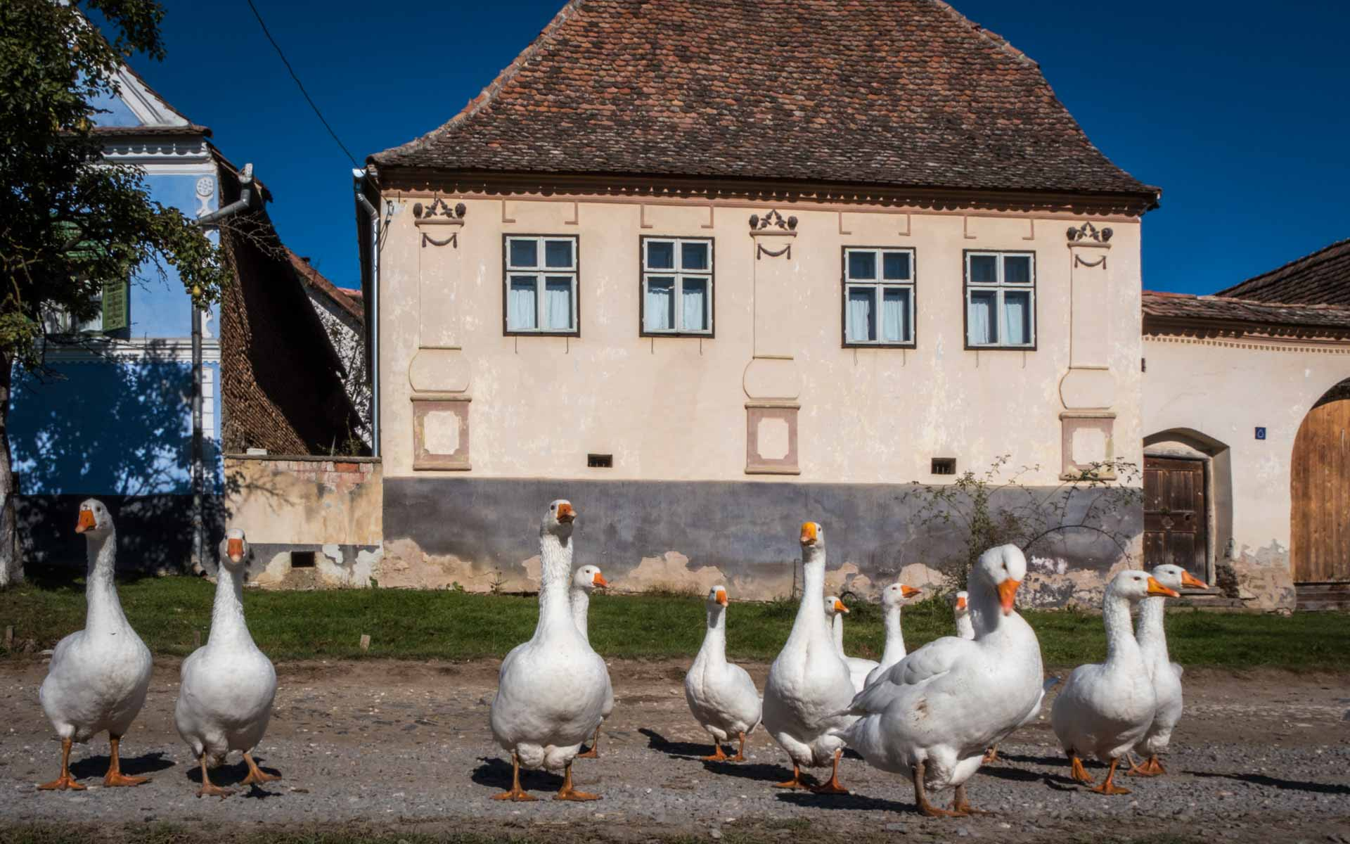 Ducks roaming the streets of Viscri