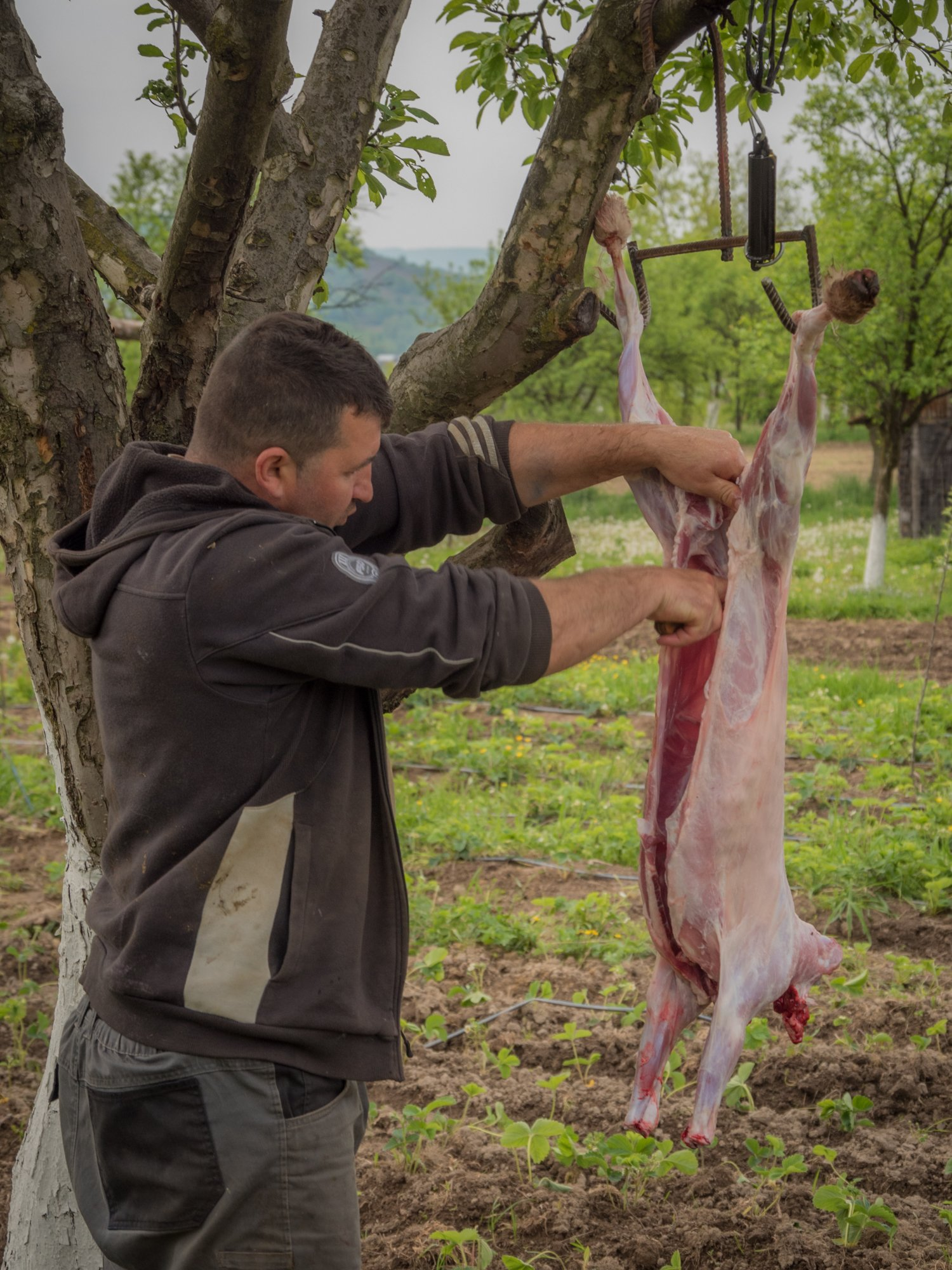 Slaughtering the lamb for Easter