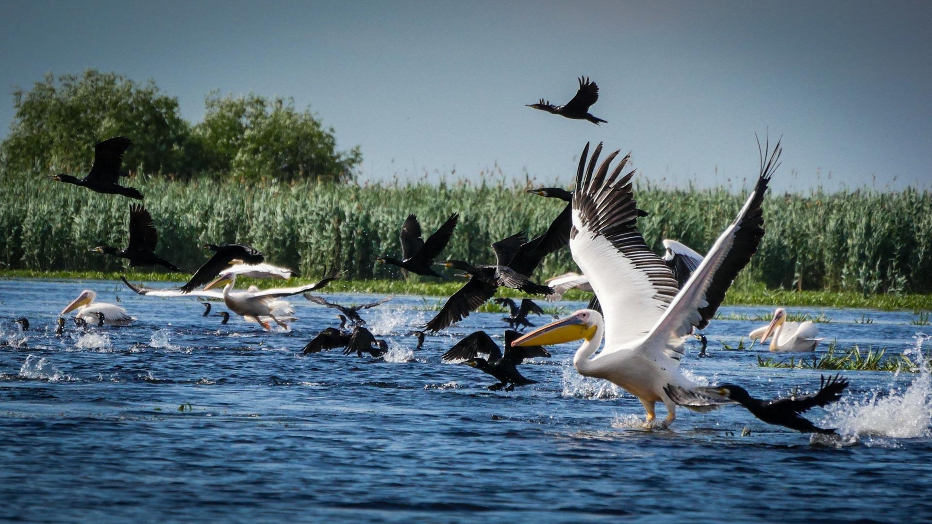 Pelicanii au revenit in Delta