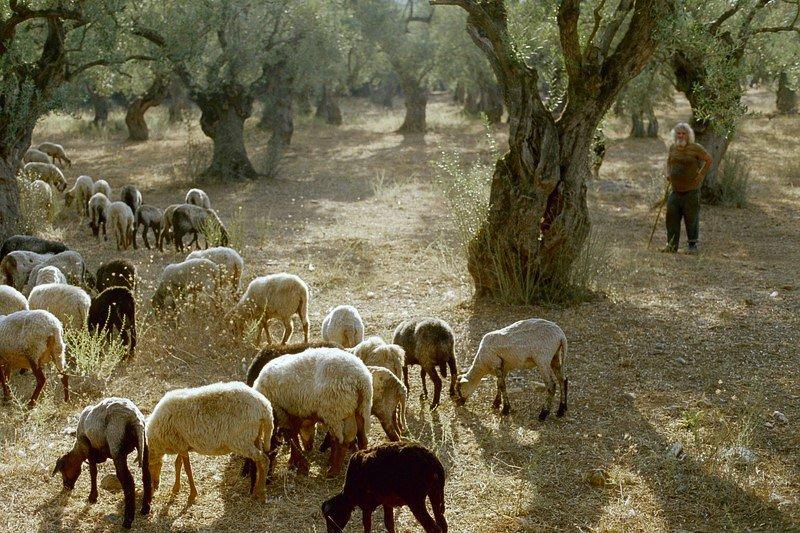 Olive sheep by hans j. knospe