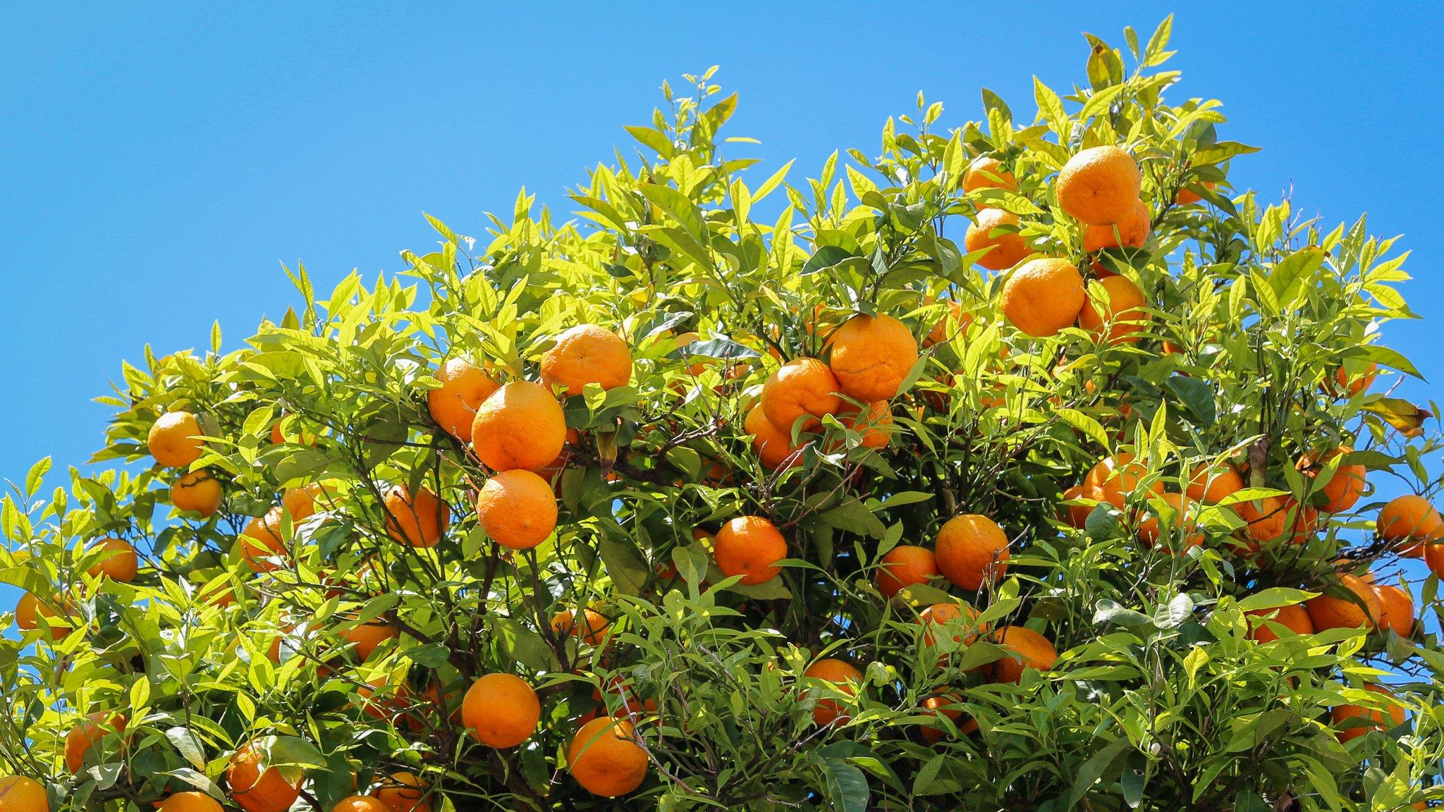 Portocale in Grecia