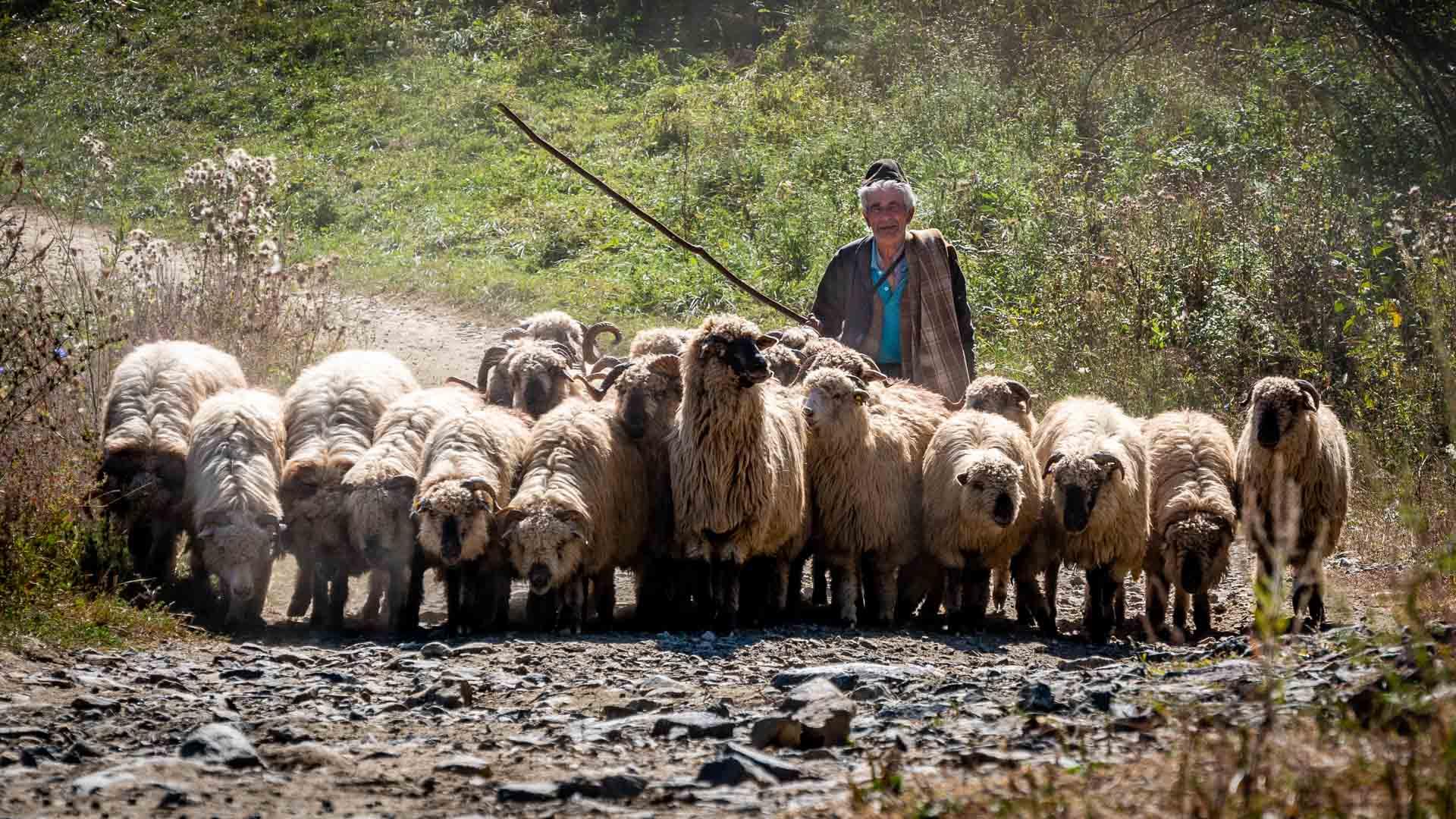 Turme de oi